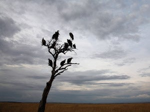 vultures waiting 620x465