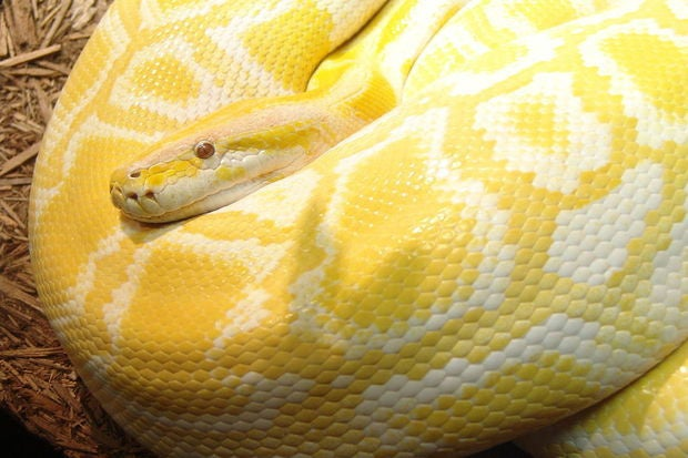 fat burmese python yellow snake