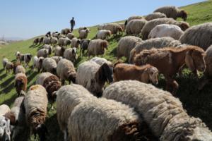 042717blog sheep